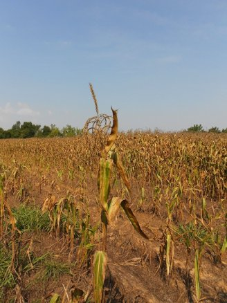 drought corn photo